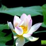 L'essenza della vita nel Fiore di Loto