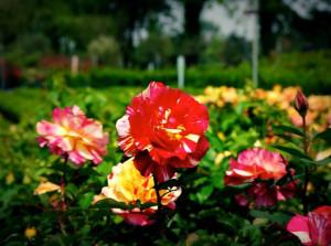 rose degli impressionisti