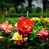 Petali come tele: le Rose degli Impressionisti