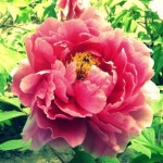 Peonia, la rosa senza spine