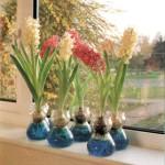 Coltivare i giacinti in casa