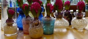 Giacinti in vaso