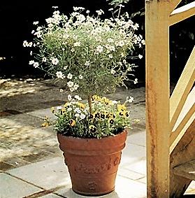 Una pianta di margherita tagliata ad alberello un vaso for Arbusti ad alberello