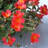 Conosciamo la Portulaca Grandiflora