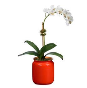 Orchidea: cura e manutenzione