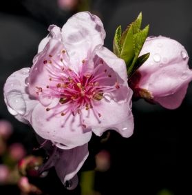 Lavori giardino aprile - Fiore di pesco
