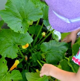 Coltivare zucchini in vaso