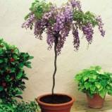 Glicine ad albero: crescere piante ad alberello