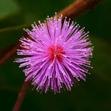 Scopriamo una pianta strabiliante: Acacia sensitiva!