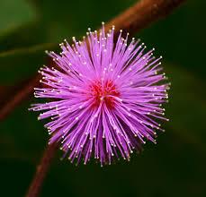 Fiore Acacia Sensitiva