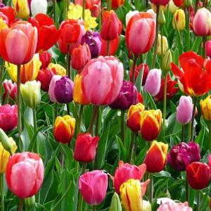 tulips-52126_640