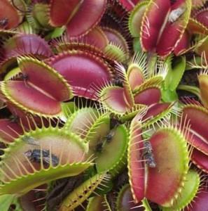 Dionaea-muscipula-510x514