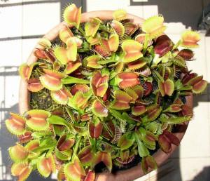 Dionaea_maggio_2006