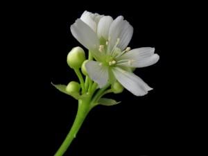 Dionaea_muscipula_bluete