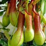Piante carnivore: le Nepenthes