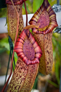 nepenthes_carnivora