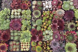 piante succulente
