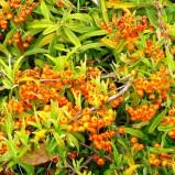 Pyracantaha navaho: un arbusto nano decorativo.