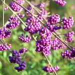 Una pianta decorativa invernale: la Callicarpa