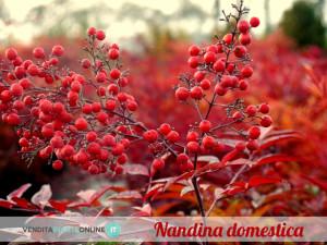 nandina domestica2