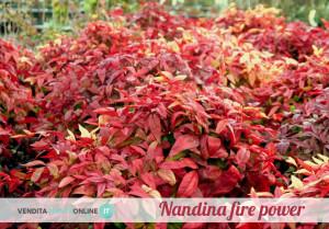 nandina firepower1