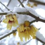calicanto-dinverno