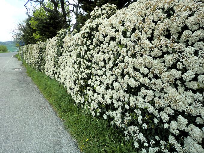 Vivai le georgiche for Cespugli fioriti da giardino