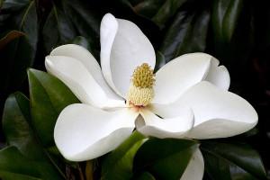 4241028-magnolia