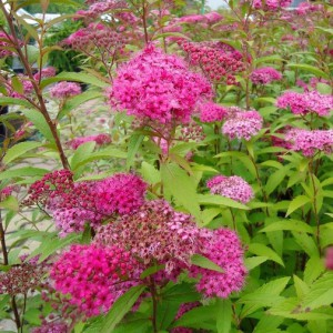 SPIRAEA-BUMALDA-ANTHONY-WATERER-2