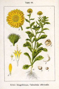 calendula-officinalis_A