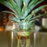 ananas-in-vaso-225x300