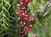 peruvian-pepper-schinus-molle-university-hills-irvine-ca-8-16-11-164a